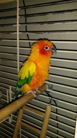 Ellisras Parrots For Sale Limpopo Classifieds Ads, Ellisras Parrots
