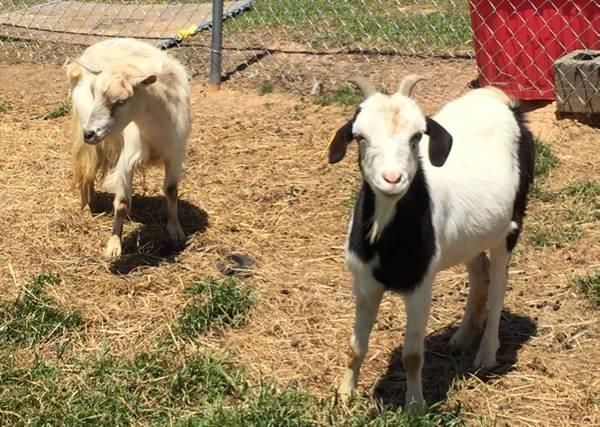 Fainting goats For Sale | Johannesburg | Gauteng